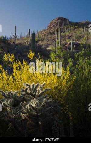 Arizona, Tucson, USA, 9. April 2015, Saguaro National Park West, Saguaro Kaktus bei Sonnenuntergang - Stockfoto
