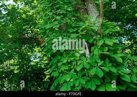 Wildem Wein (Parthenocissus Quinquefolia) wächst auf Bäumen im südlichen Indiana - Stockfoto