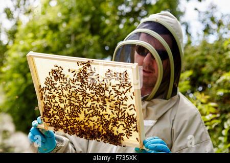 Ein Imker in einem Anzug, hält einen Holzrahmen mit Bienen bedeckt. - Stockfoto