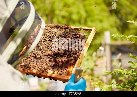 Ein Imker in einem Anzug, mit seinem Gesicht bedeckt, einem Wabenrahmen in Bienen bedeckt halten. - Stockfoto