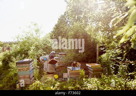 Ein Imker in einem Schutzanzug und Gesicht abdeckt, die Frames in seine Bienenstöcke inspizieren. - Stockfoto