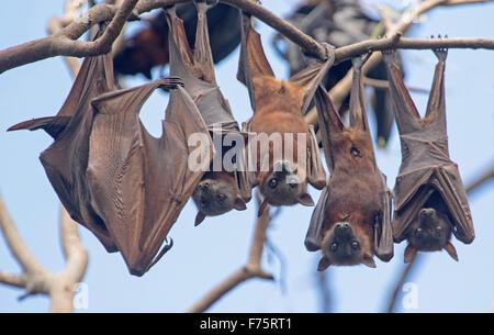 Gruppe der Flughunde unter der Leitung von grau / fliegende Füchse, Pteropus Poliocephalus hängen in den Bäumen - Stockfoto