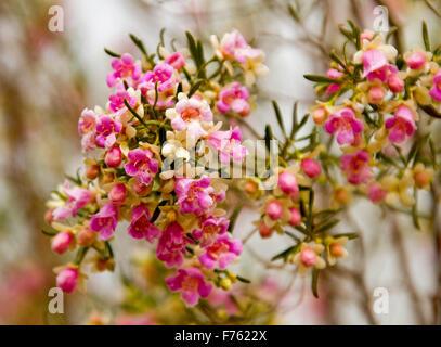 Rosa Blumen bush Hintergrund in einem sonnigen Sommertag Stockfoto ...