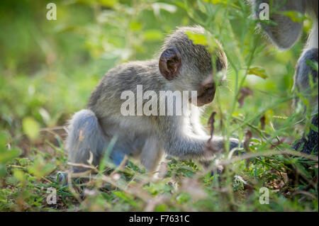 Südafrika - Krüger National Park Vervet Affe (Chlorocebus Pygerythrus) - Stockfoto