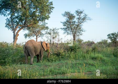 SOUTH AFRICA-Krüger Nationalpark afrikanischen Elefanten (Loxodonta) - Stockfoto