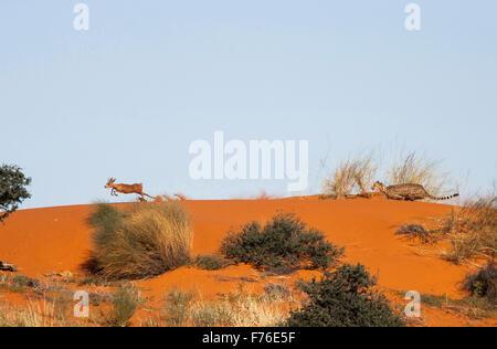 Malerische Landschaft eines Geparden jagen nach einem Steinböckchen oben auf einer Sanddüne in Kgalagadi Transfrontier - Stockfoto