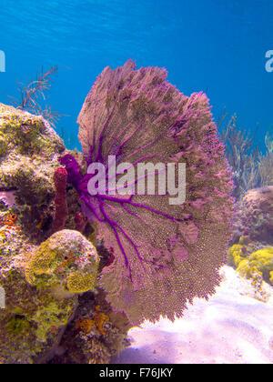 Eine lila Gorgonien Koralle sieht schön gegen das blaue Meer auf den Bahamas - Stockfoto
