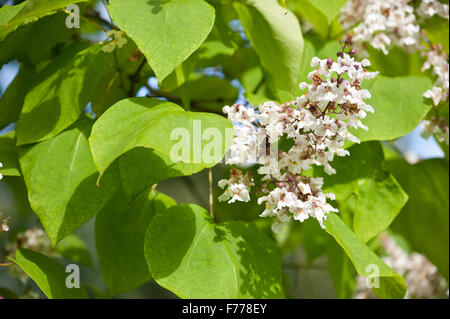 baum mit gro en wei en bl ten catalpa bignonioides stockfoto bild 133215413 alamy. Black Bedroom Furniture Sets. Home Design Ideas