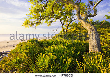 """Saw Palmetto"" und [Sand Phaseneiche] ""St. Katharinen Insel"" Georgia. - Stockfoto"