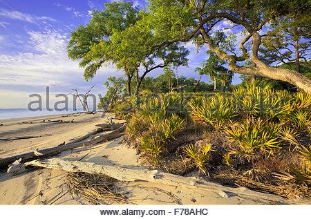Strand mit Sand und Sägepalme Phaseneiche, St. Catherines Island, Georgia. - Stockfoto