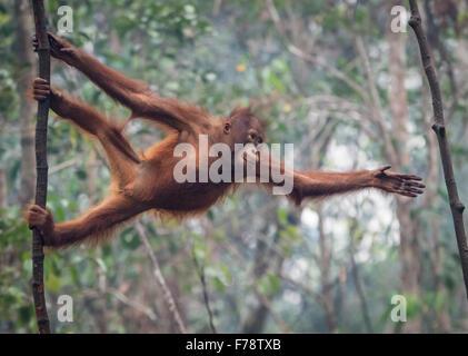 Young Bornean Orang-Utans (Pongo Pygmoeus) erstreckt sich um den nächsten Baum zu erreichen - Stockfoto