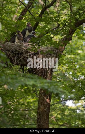 Die Jungvögel der Schwarzstorch (Ciconia Nigra) sitzen in einem versteckten riesigen Horst / verschachteln, hoch - Stockfoto