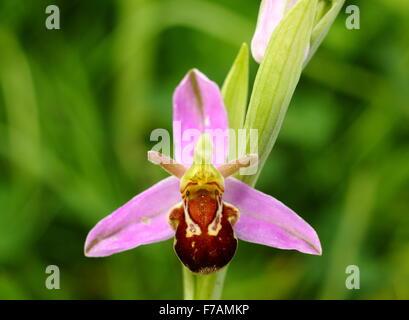 Eine Biene Orchidee wachsen in freier Wildbahn auf Kalkstein Grünland in Derbyshire England UK - Stockfoto