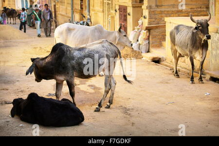 Kühe auf der Straße, Jaisalmer, Rajasthan Zustand, Indien - Stockfoto