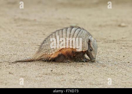 Große behaarte Gürteltier (Chaetophractus Villosus) Erwachsenen, sitzen auf Sand, Punta Norte, Halbinsel Valdés, - Stockfoto