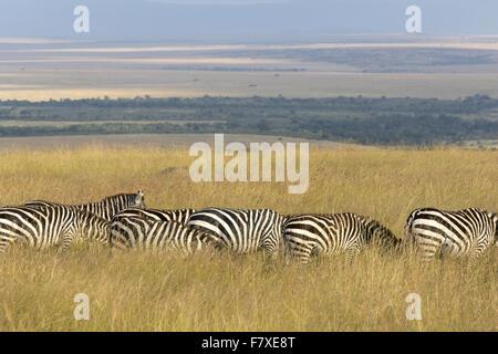 Grant Zebra (Equus Quagga Boehmi) hüten, Weiden in Grünland Lebensraum, Masai Mara National Reserve, Kenia, August - Stockfoto