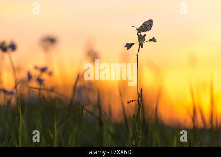 Orange Spitze auf Kuckuck Blume, Anthocharis cardamines - Stockfoto