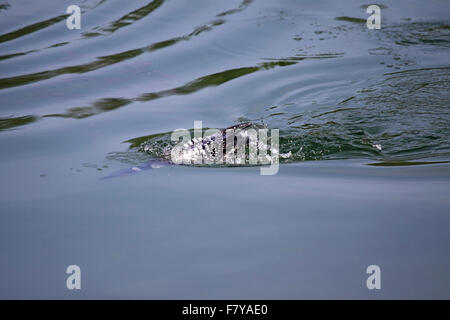 Gemeinsamen Loon Tauchen Angeln im See in Alberta, Kanada - Stockfoto