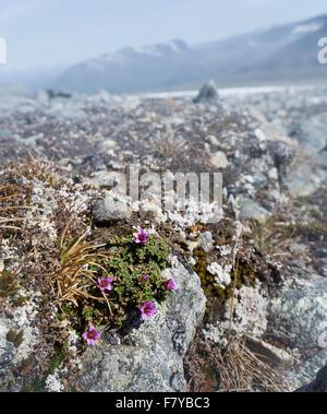 Berg oder lila Steinbrech Saxifraga Oppositifolia wächst auf 2000 m im Alpenraum von Norwegen Oppland - Stockfoto