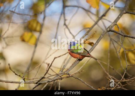 Painted Bunting in Prospect Park Brooklyn November 2015 - Stockfoto