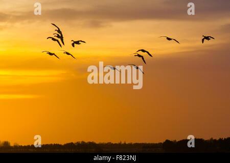 Vögel im Flug, in den Wolken in Ormskirk, Lancashire, UK, Dezember 2015 fliegen. UK Wetter. Abend Glühen über MartinMere - Stockfoto