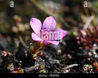 Blühende Spross der lila Steinbrech (Saxifraga Oppositifolia) wächst in den Luhčavárri fiel (Troms, Norwegen) - Stockfoto