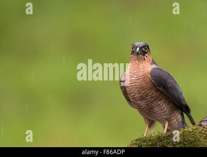 Wilde männliche Sperber (Accipiter Nisus) thront - Stockfoto