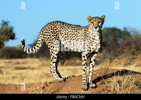 Gepard (Acinonyx Jubatus) [Gefangenen] - Africat Rehabilitation Heiligtum, Okonjima, Namibia, Afrika - Stockfoto