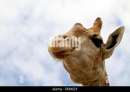 Eine Nahaufnahme einer Giraffe (Giraffa Plancius) im The Giraffe House Wildlife Awareness Centre, Südafrika. Stockfoto