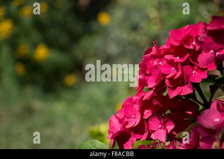 Hortensie Maco. Dark Angel. Eine außergewöhnliche Spitzenhäubchen Hortensie mit blauen Blütenknospe für Schattierungen - Stockfoto