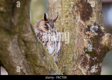 Lange Eared Eule; ASIO Otus Single mit Augen geschlossen; Cornwall; UK - Stockfoto