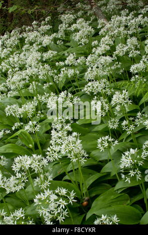 b rlauch allium ursinum in niederwald wald kent england stockfoto bild 18404327 alamy. Black Bedroom Furniture Sets. Home Design Ideas