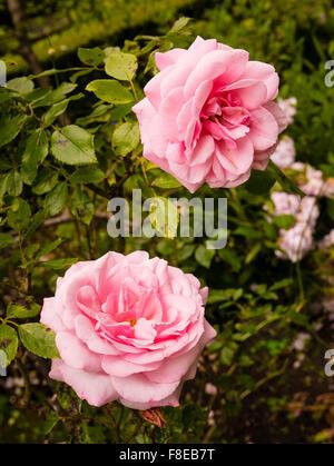 Zwei alte China Rosen Hermosa - Stockfoto