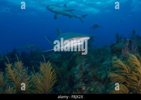 Unterwasser-Blick der graue Riffhaie Suche Pflanze bedeckt Meeresboden, nördlichen Ufer der Bahamas, Bahamas - Stockfoto