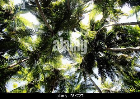 Niedrigen Winkel Blick auf Palm Bäume, Maho Bay, St. John, US Virgin Islands - Stockfoto