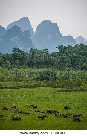 Wasserbüffel grasen vor Kalksteinhügel in Guangxi Zhuang, China - Stockfoto