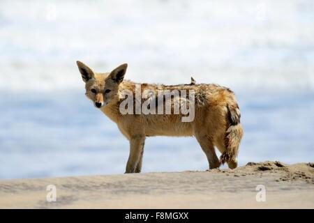 Black-backed Jackal (Canis Mesomelas) auf der atlantischen Küste des Namib-Naukluft-Nationalpark, Namibia - Stockfoto