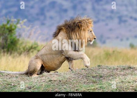 In der Nähe von Lion im Nationalpark von Kenia, Afrika Stockfoto