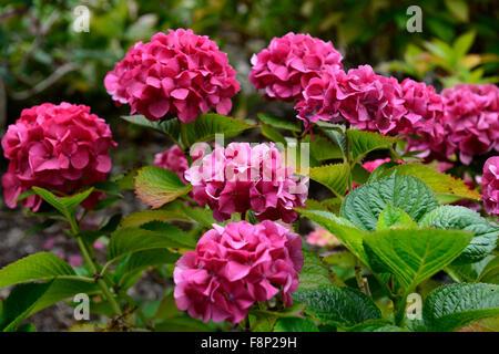 Hydrangea Macrophylla Masja pink rote Blumen Blume Blüte Blüte sommergrüne Sträucher Strauch Busch Blütenköpfchen - Stockfoto