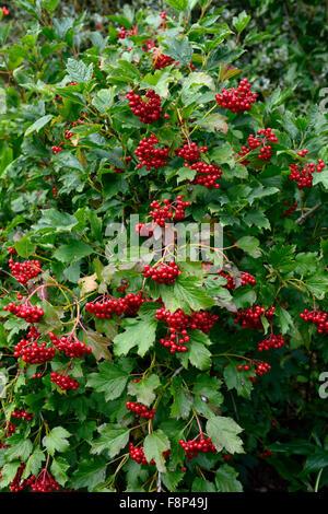viburnum opulus compactum rote beeren die kreuzungen guelder rose herbst herbstliche herbst. Black Bedroom Furniture Sets. Home Design Ideas
