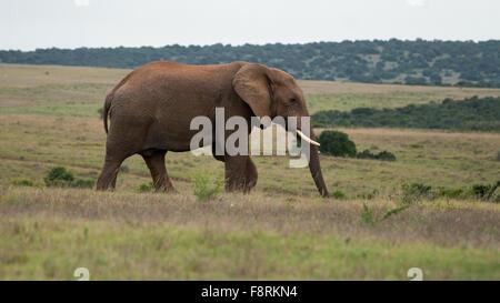 Afrikanischer Elefant, Aberdeen Plain, Eastern Cape, Südafrika - Stockfoto
