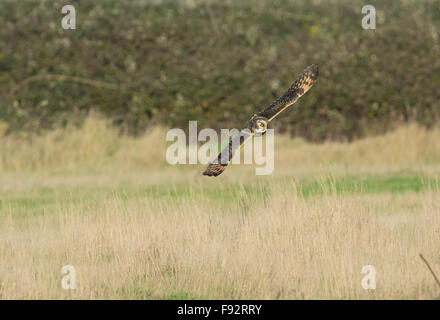 Sumpfohreule (Asio Flammeus) Vierteln durch Felder, während die Jagd nach Beute. - Stockfoto