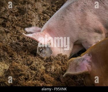 Schwein in den Schlamm, Nordurardalur-Tal, West-Island - Stockfoto