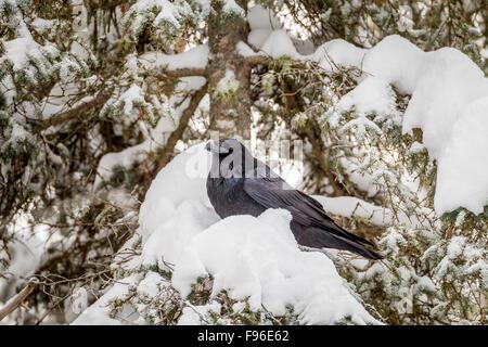 Kolkrabe (Corvus Corax) in einem schneebedeckten Baum im Algonquin Provincial Park, Ontario, Canada - Stockfoto