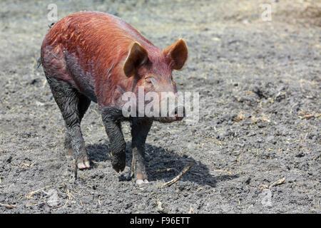Tamworth-Schwein zu Fuß im Schlamm, Fort Whyte, Manitoba, Kanada - Stockfoto