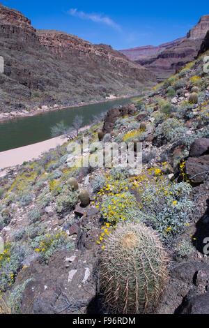 Brittlebush, Encelia Farinosa und California Barrel Cactus, Ferocactus CylindraceusColorado River, Grand Canyon, - Stockfoto