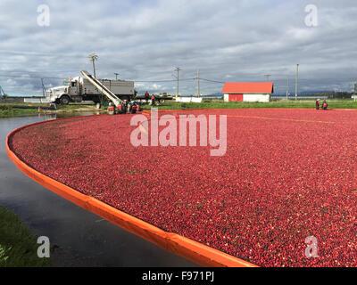 Cranberry Ernte Feier im Delta BC... Diese Preiselbeeren sind feucht geerntet mit verschiedenen Farben, für die Verarbeitung bestimmt sind