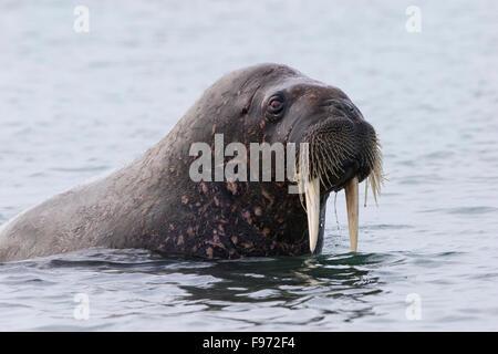 Atlantische Walross (Odobenus Rosmarus Rosmarus), Andréetangen Landzunge, Edgeøya (Edge Island), Spitzbergen, Arktis - Stockfoto