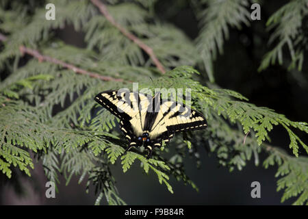 Kanadische Tiger Schwalbenschwanz Schmetterling ruht auf Laub auf Vancouver Island Kanada Stockfoto