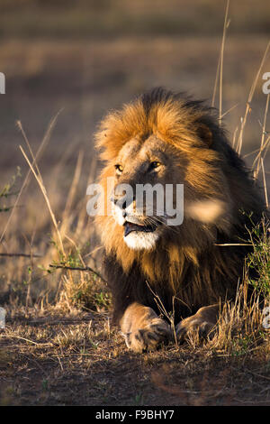 Löwe im Morgengrauen Sonnenlicht - Stockfoto